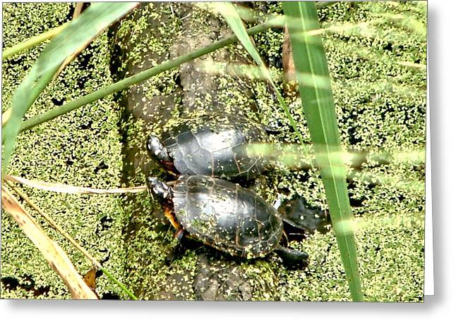 Virginia Swamp Turtles Greeting Card