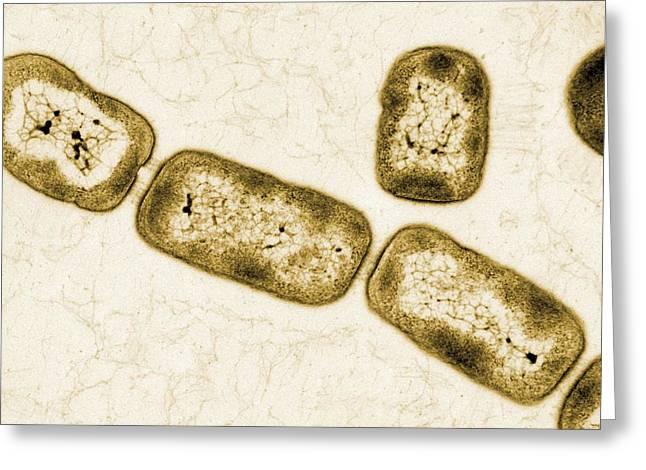 Vitreoscilla Bacteria, Tem Greeting Card by Peter Bond, Em Centre, University Of Plymouth