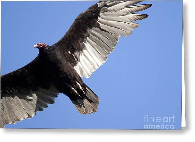 Vulture Greeting Card by Jeannette Hunt