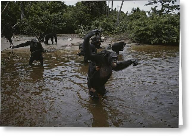 Wading In Water, Chimpanzees Greeting Card