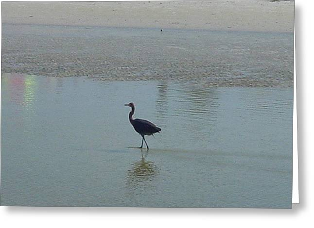 Wading Greeting Card by Val Oconnor