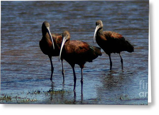 Greeting Card featuring the photograph Waiding Ibis by Mitch Shindelbower