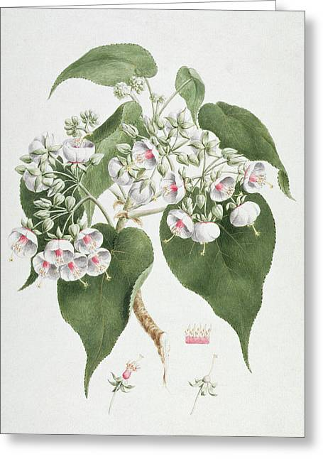 Walkuffa No.5 Dombeya Torrida  Greeting Card by James Bruce