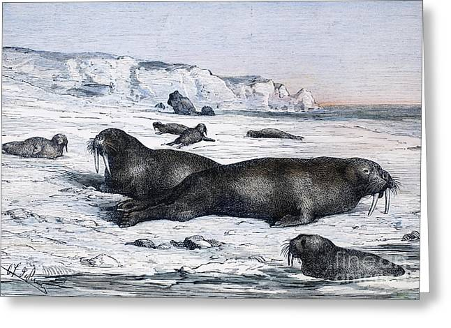 Walruses On Ice Field Greeting Card