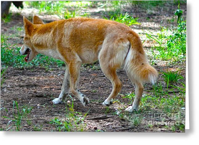 Wandering Dingo Greeting Card by Joanne Kocwin
