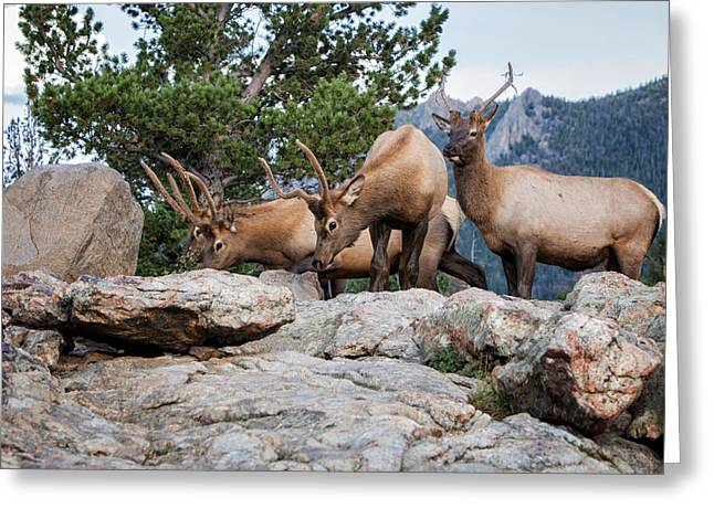 Wapiti Greeting Card