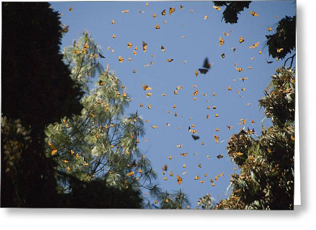 Warmed By The Sun, Thousands Of Monarch Greeting Card by Annie Griffiths