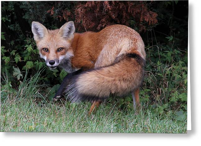 Wary Fox Greeting Card by Doris Potter