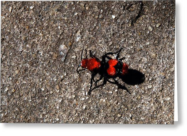 Wasp Called Velvet Ant Greeting Card by Skip Willits