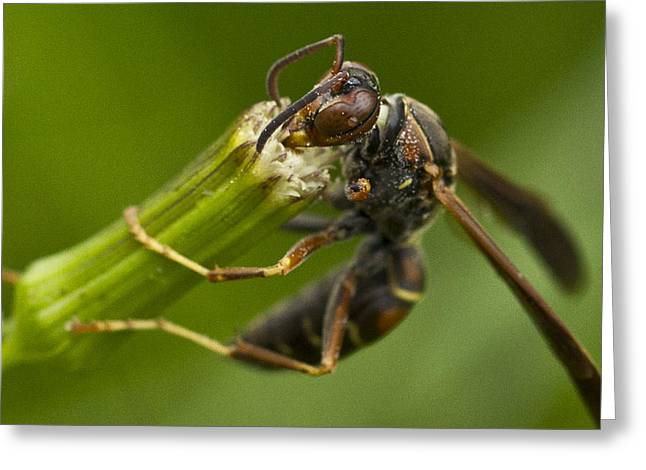 Wasp Eating Greeting Card by Dean Bennett