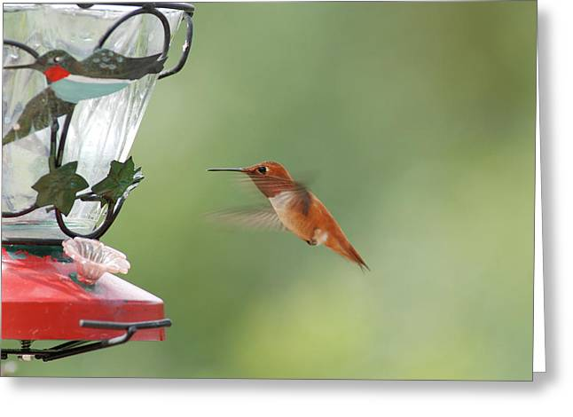 Watchful Rufous Greeting Card