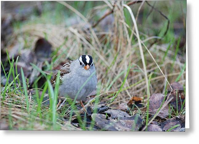 Couronne Greeting Cards - Watchful White Crowned Sparrow Greeting Card by Jan Piet