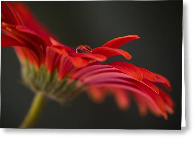 Water Drop On A Red Gerbera Flower Greeting Card by Pixie Copley