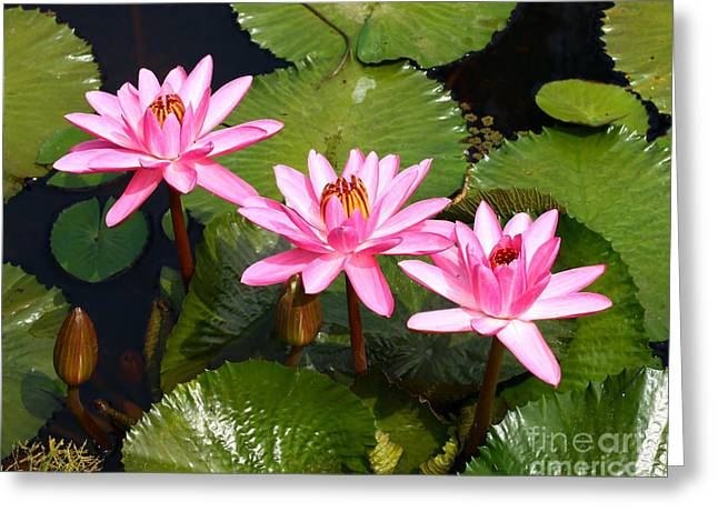 Water Lilies. Greeting Card by Denise Pohl