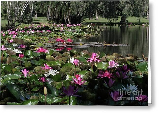 Water Lilies In The St. Lucie River Greeting Card by Sabrina L Ryan
