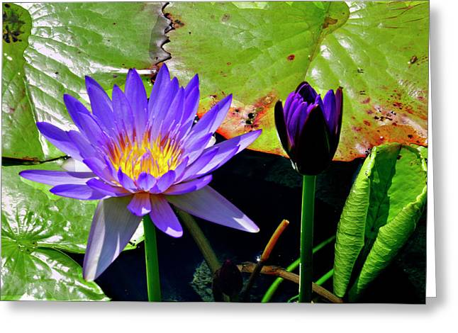 Greeting Card featuring the photograph Water Lillies by Helen Haw