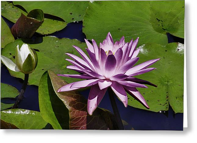 Water Lillies Young And Old Greeting Card by Forest Alan Lee