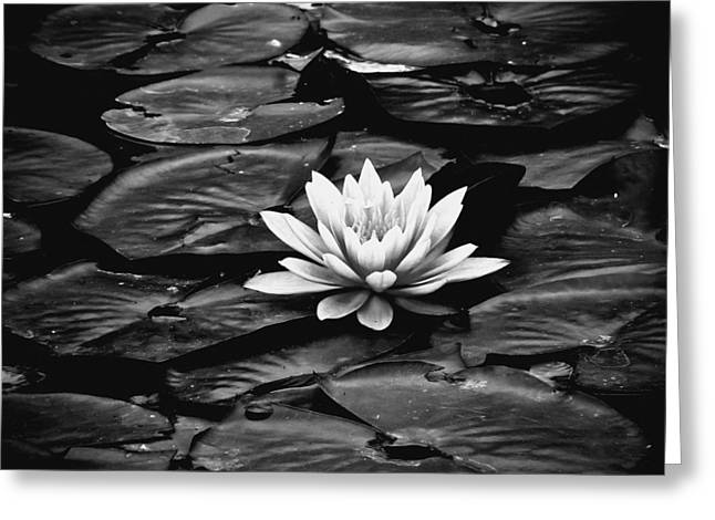 Water Lilly Bw Greeting Card by Connie Dye