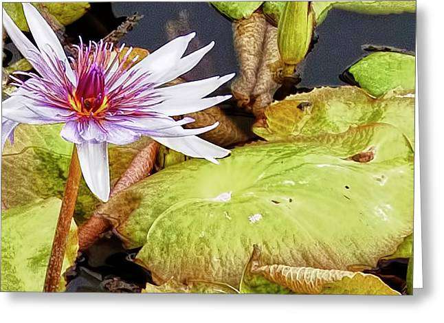Water Lilly Close Up Greeting Card by Forest Alan Lee