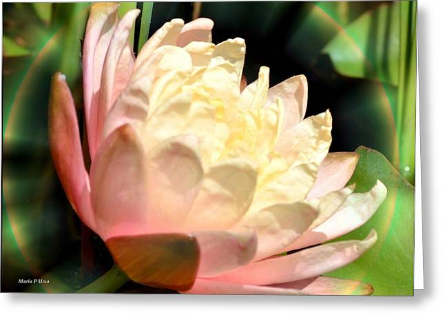 Water Lilly In Bloom Greeting Card by Maria Urso
