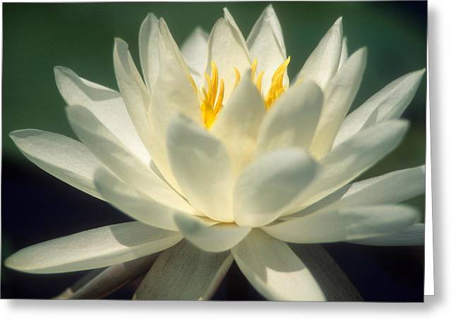 Water Lilly Greeting Card by Lee Amerson