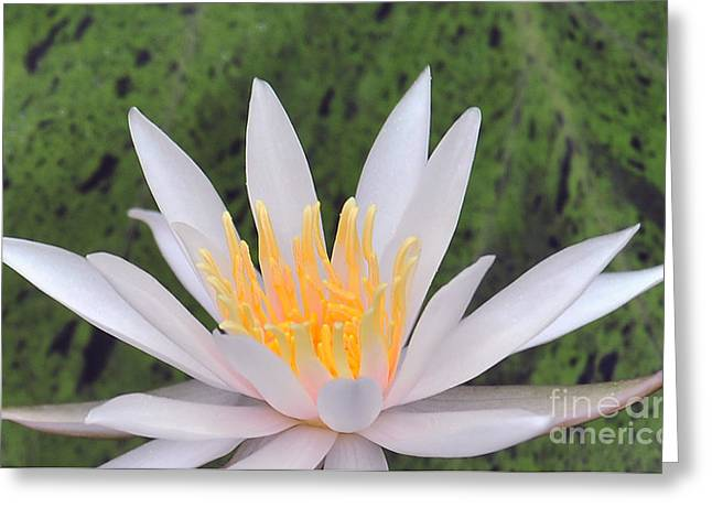 water lily 85 Arc-en-ciel Greeting Card
