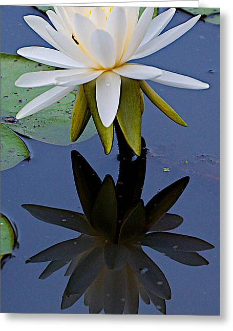 Water Lily And Her Shadow Greeting Card
