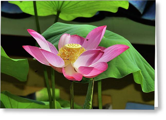 Water Lily Bloom2 Greeting Card by KH Lee