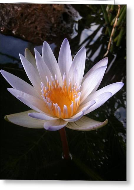 Greeting Card featuring the photograph Water Lily by Carol Sweetwood