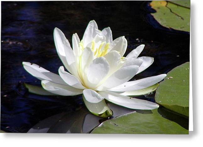 Water Lily Cass Lake Michigan Greeting Card by Paul Shefferly