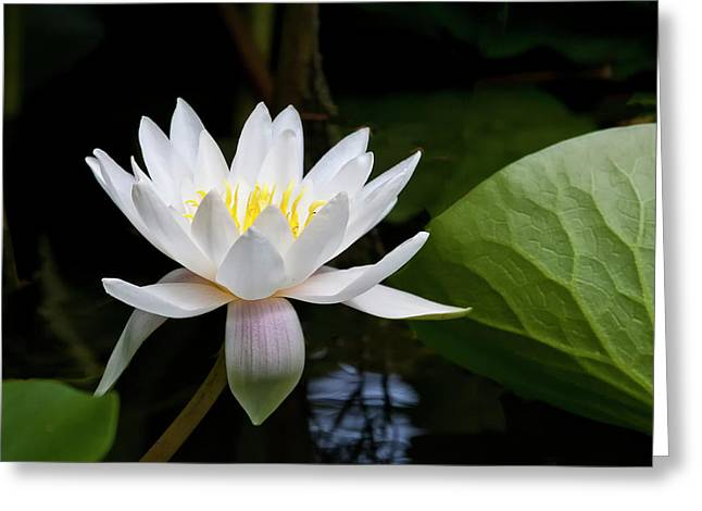 Water Lily In Morning Sun Greeting Card