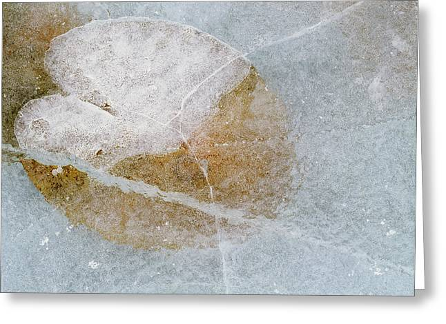 Water Lily Leaf In Ice, Boggy Lake Greeting Card by Darwin Wiggett