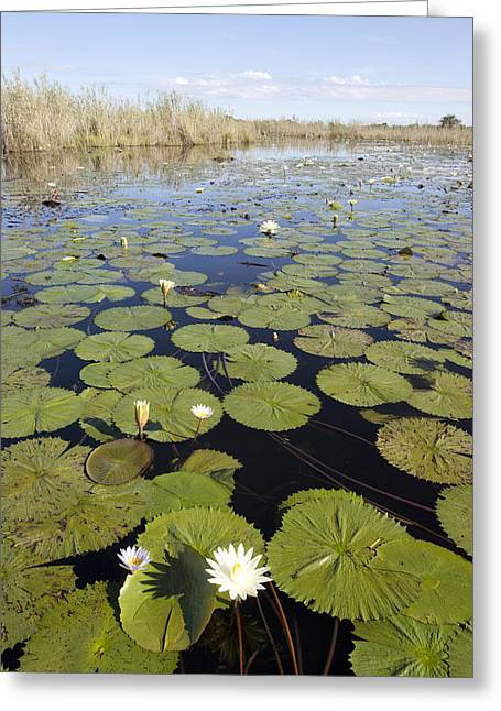 Water Lily Nymphaea Sp Flowering Greeting Card by Matthias Breiter