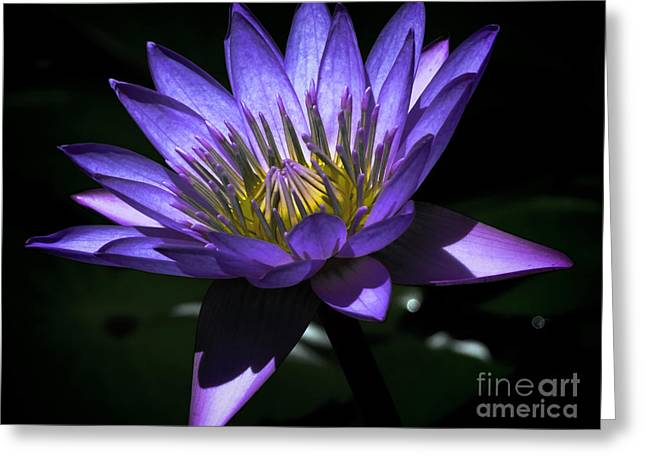 Water Lily  Reveal Greeting Card by Karen Lewis
