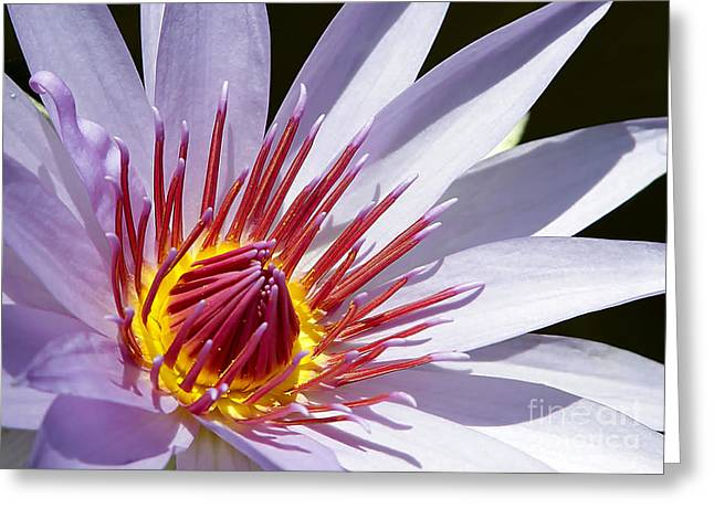 Water Lily Soaking Up The Sun Light Greeting Card by Sabrina L Ryan