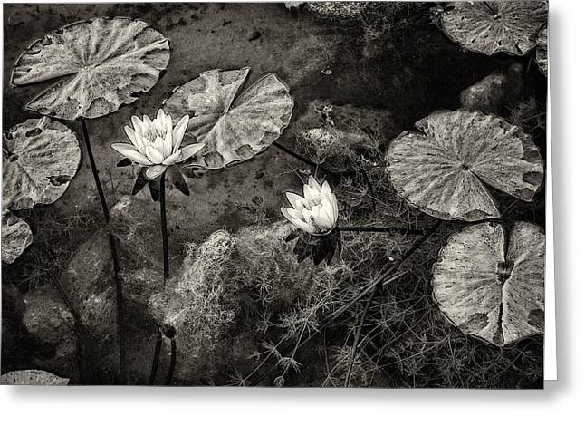 Waterlilies In Sepia Greeting Card by Marion McCristall