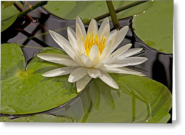 Waterlily  Greeting Card by Anne Rodkin