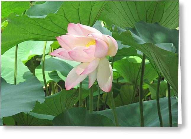 Waterlily In The Wind Greeting Card by Chan K H