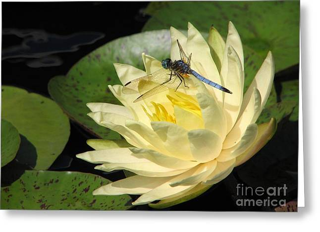 Waterlily With Dragonfly Greeting Card by Eva Kaufman