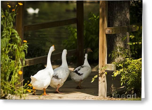 We Three Walk In A Row Greeting Card by Kim Henderson