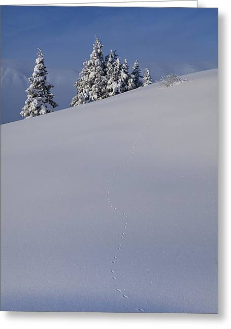 Weasel Tracks In The Snow Greeting Card by Tim Grams