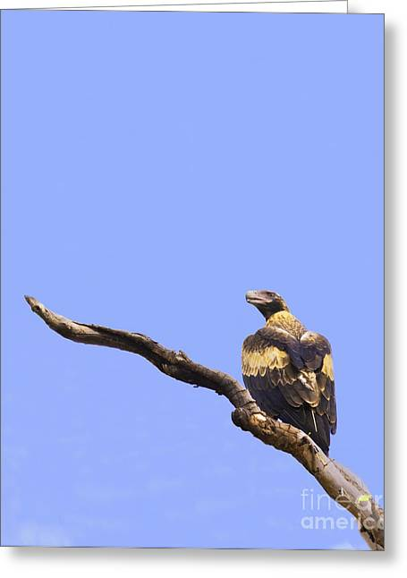 Wedgetail Eagle Greeting Card