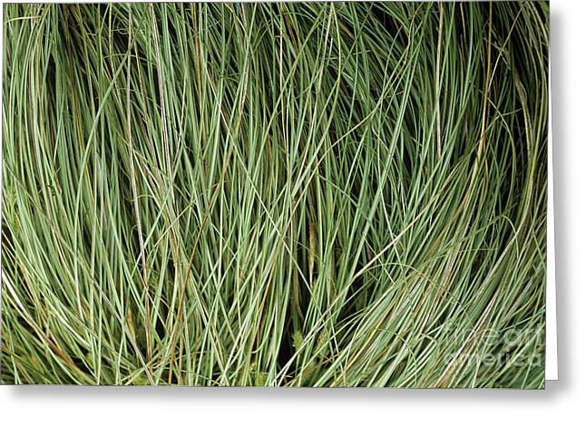 Weeping Sedge (carex Oshimensis) Greeting Card by Archie Young