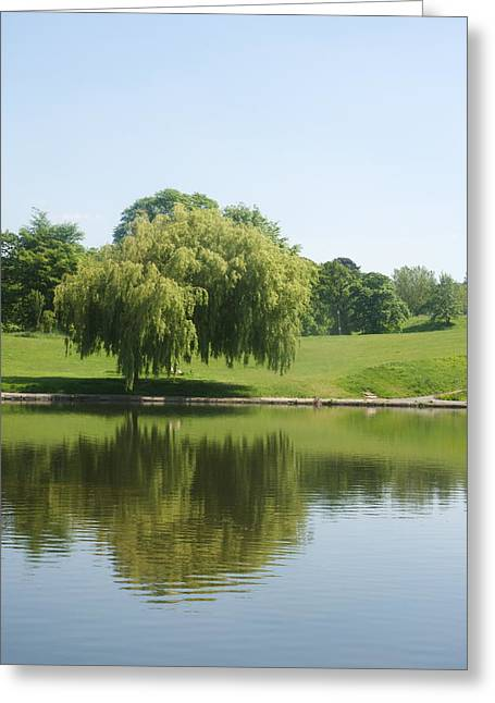 Weeping Willow Tree.  Greeting Card