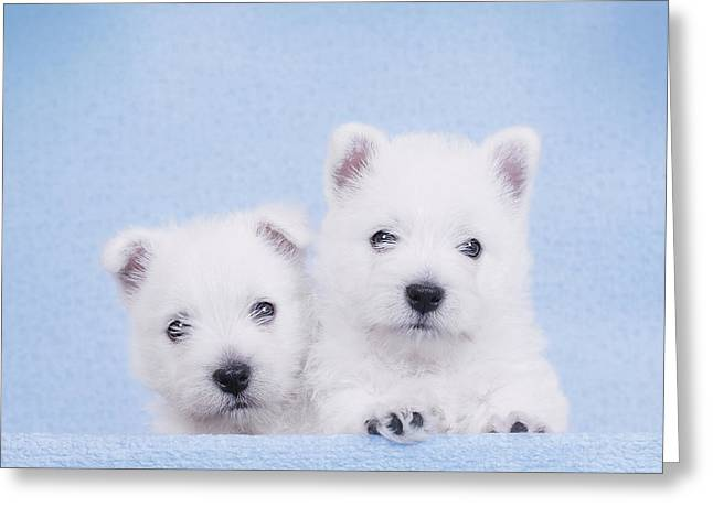 West Highland White Terrier Puppies Greeting Card by Waldek Dabrowski