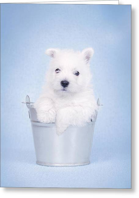West Highland White Terrier Puppy In The Bucket  Greeting Card by Waldek Dabrowski