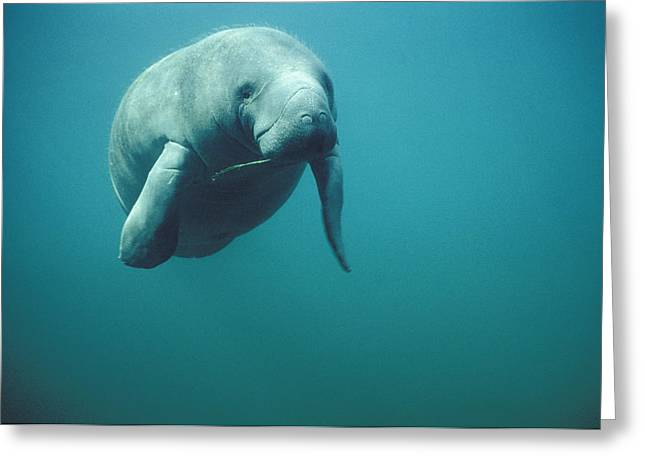 West Indian Manatee Trichechus Manatus Greeting Card by Tui De Roy