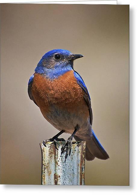 Greeting Card featuring the photograph Western Bluebird by Britt Runyon