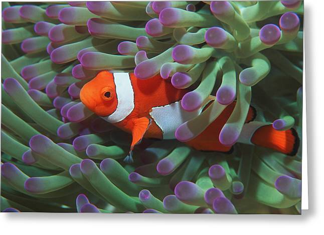 Western Clown Anemonefish Greeting Card by Georgette Douwma