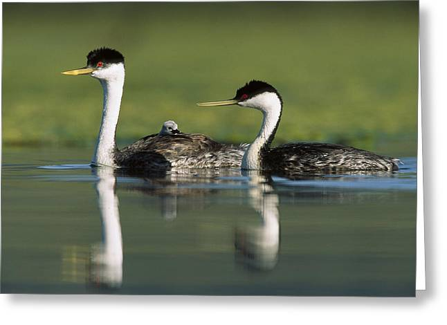 Western Grebe Couple With One Parent Greeting Card by Tim Fitzharris